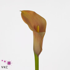 passionfruit calla lily