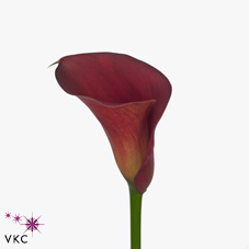 perfect lover calla lily