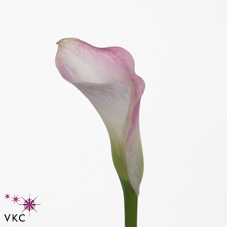 pink giant calla lily