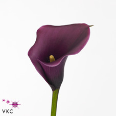 calla lily care instructions