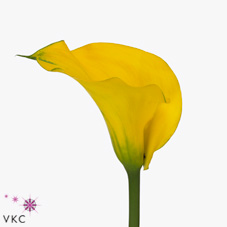 yellow giant calla lily
